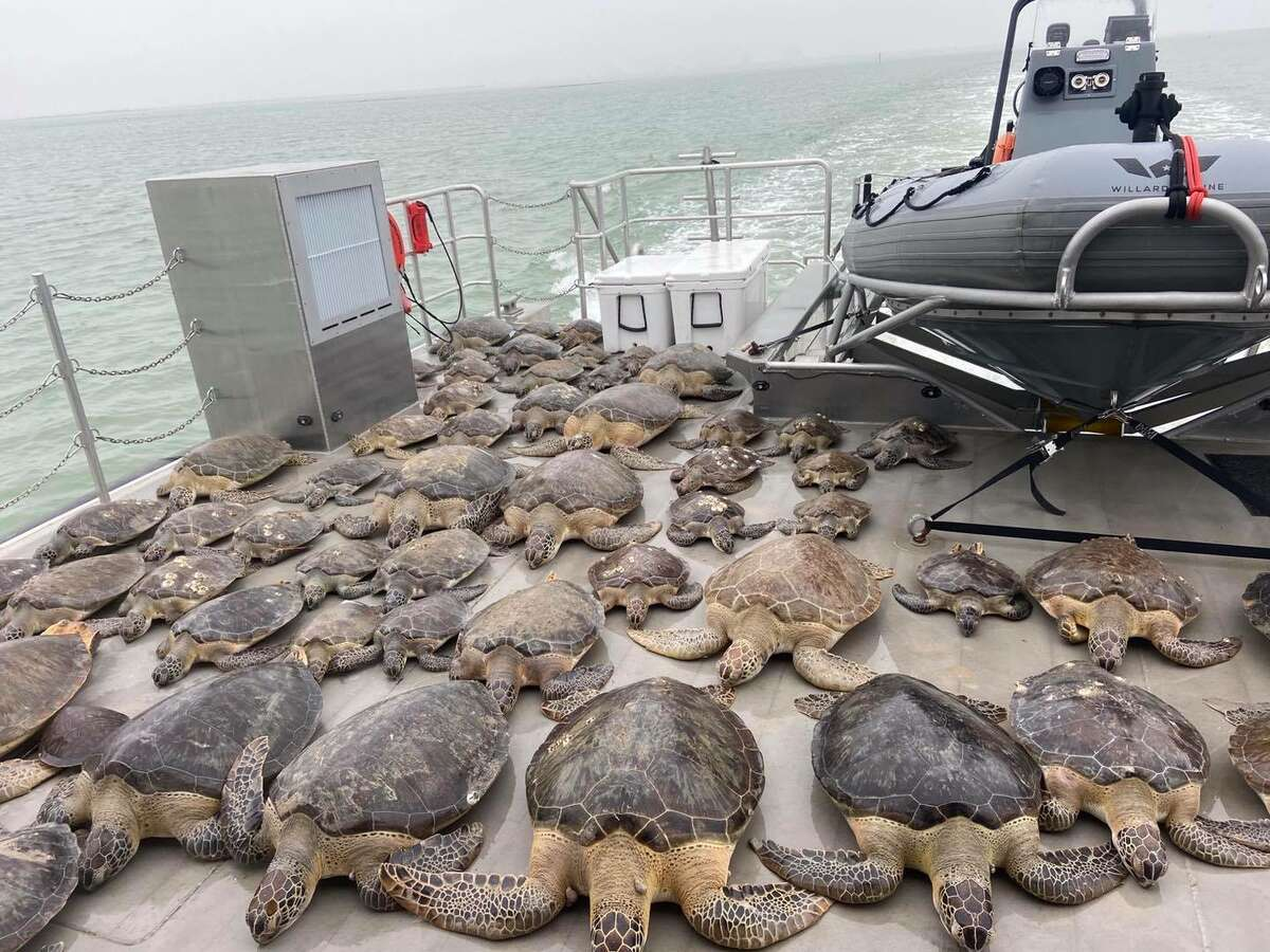 On Tuesday, Texas Game Wardens posted on its Facebook page that officers rescued 141 cold-stunned sea turtles from the frigid waters of the Brownsville Ship Channel and surrounding bays.
