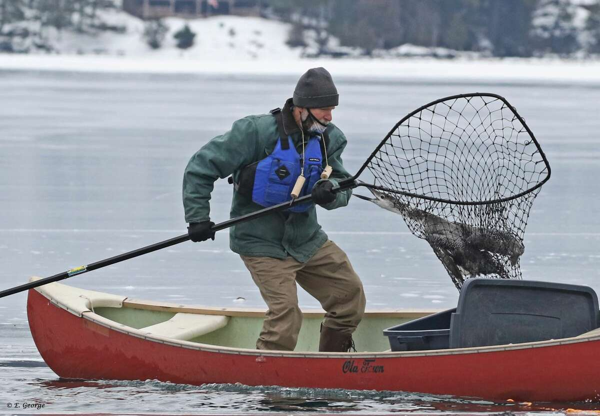 """The Adirondack Center for Loon Conservation successfully coordinated a rescue of three adult loons who were iced-in on Lake George. On Sunday afternoon, local residents and birders contacted Dr. Nina Schoch, the Executive Director of the Loon Center, to report the loons swimming in a small hole in the ice. Eagles had already absconded with a fourth loon, and one was sitting at the edge of the ice watching the other three loons closely. """"That area of the lake had just iced up last week. With the relatively mild winter, the loons were likely wintering over on Lake George when the below-zero weather trapped them by quickly forming ice,"""" said Dr. Schoch. """"At this time of the year, loons are molting into their breeding plumage and are often flightless because their wing feathers have not yet grown back in. Thus, they are unable to fly if the ice forms quickly and they get trapped."""" Saving adult loons is very important as they are able to return to the breeding grounds for many years, since they live to be 20-30 years old. However, an ice rescue of loons is a potentially dangerous situation, as the ice can be thin next to the puddle where the loons are trapped. Sometimes conditions are not safe enough to attempt a rescue, so each situation is evaluated carefully and numerous safety precautions are taken."""