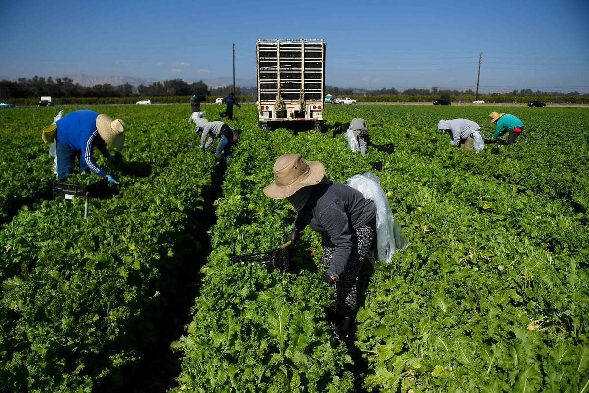Farmworkers wear face masks while harvesting curly mustard last week in Ventura County. The state allows union representatives to visit them on farm properties and California and the Biden administration wants it to stay that way in a case before the Supreme Court.