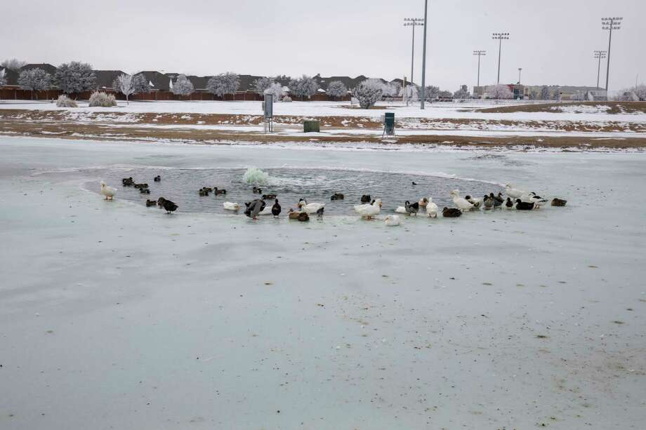 Ducks find access to open water Wednesday, Feb. 17, 2021 at C.J. Kelly Park.   Jacy Lewis/ Reporter-Telegram Photo: Jacy Lewis/ Reporter-Telegram