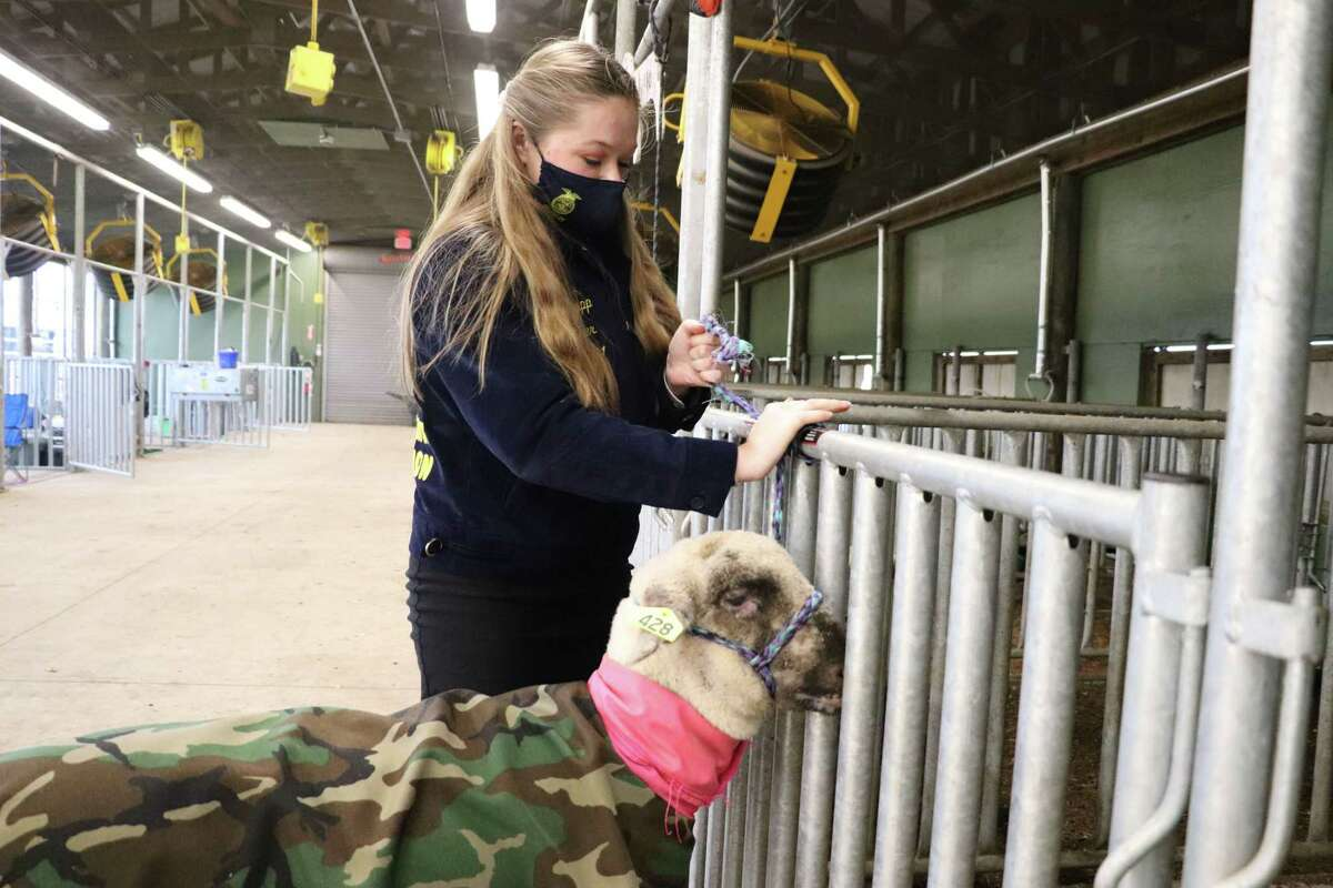 The 2021 78th Annual Katy Independent School District FFA Livestock Show has been postponed due to inclement weather and power outages. The event is now slated for Tuesday, Feb. 23, through Saturday, Feb. 27, at the Gerald D. Young Agricultural Sciences Center. Here, Cinco Ranch High School junior Lauren Sapp works with her lamb on Friday, Feb. 12.