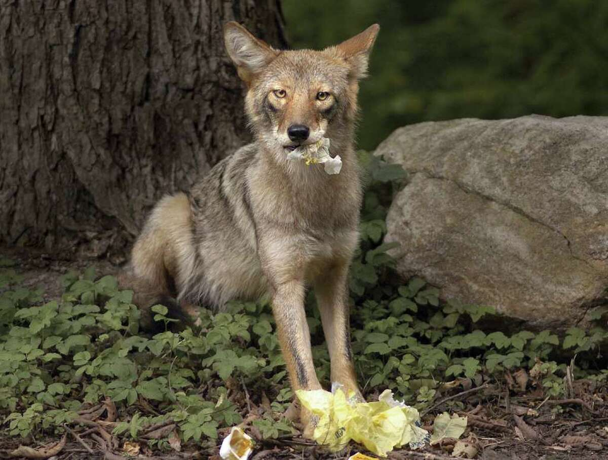 Keeping garbage out of reach from coyotes is one way to discourage the animals from setting up shop near your property.