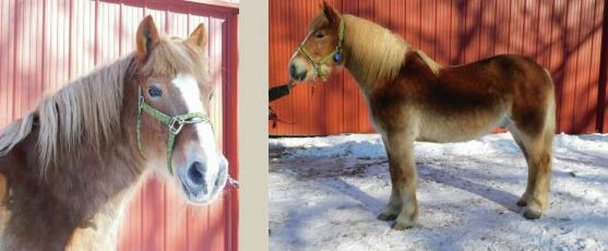 Bailey, one of the horses rescued from a farm in Oakdale, Conn., is now up for public adoption.