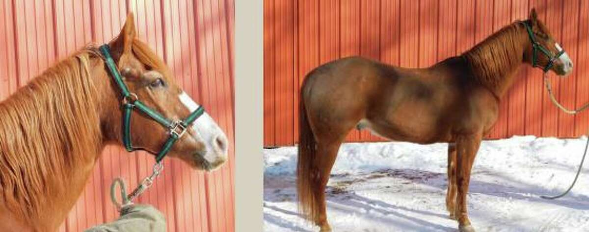Blaze, one of the horses owned by the state that is now up for public adoption.
