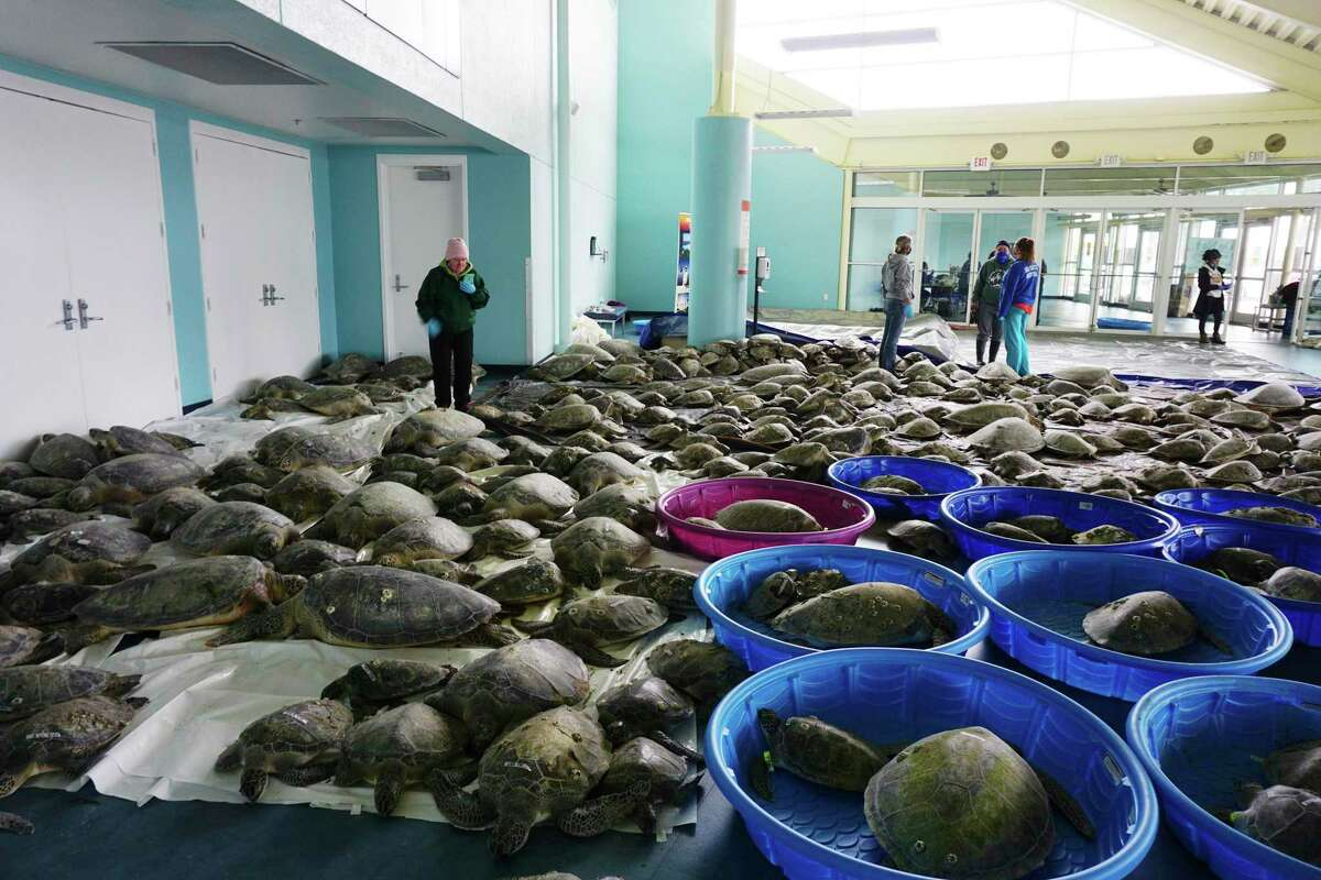 Thousands of Atlantic green sea turtles and Kemp's ridley sea turtles suffering from cold stun are laid out to recover Tuesday, Feb. 16, 2021 at the South Padre Island Convention Center on South Padre Island, Texas. (Miguel Roberts/The Brownsville Herald via AP)