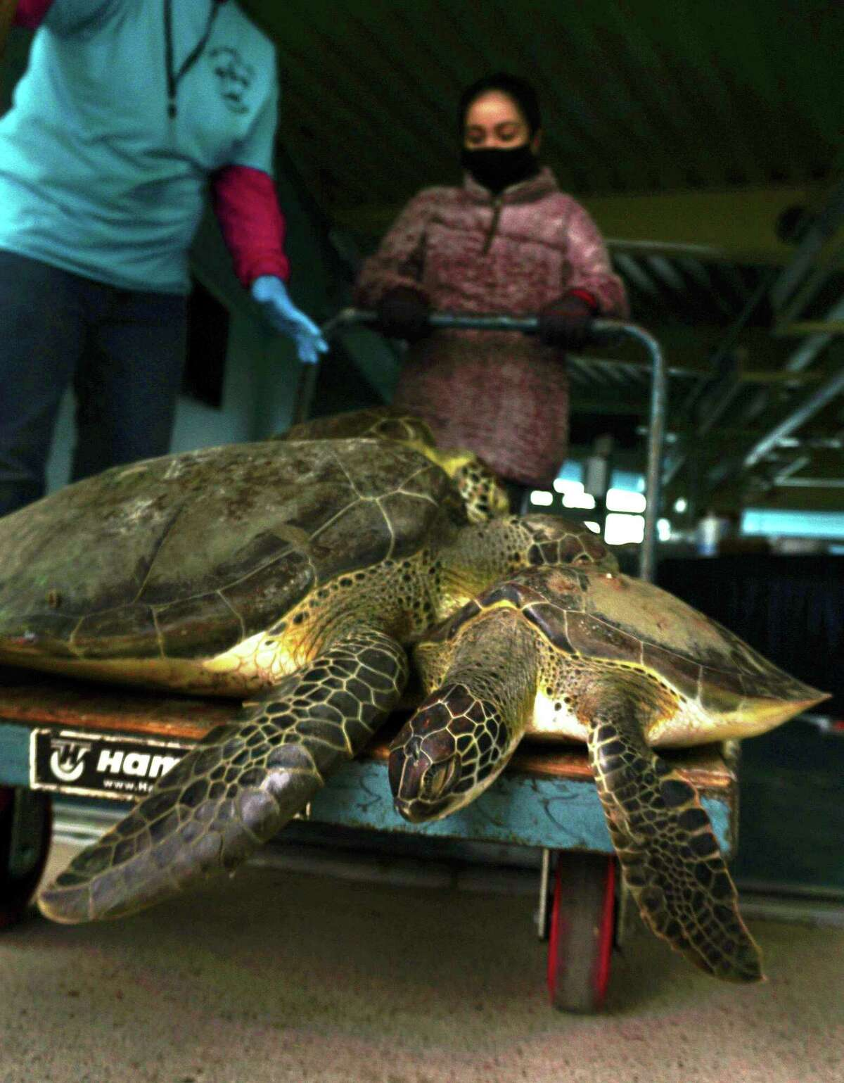 A volunteer gently transports cold stunned sea turtles Tuesday, Feb. 16, 2021 into the recovery area at the South Padre Island Convention Center on South Padre Island. (Miguel Roberts/The Brownsville Herald via AP)