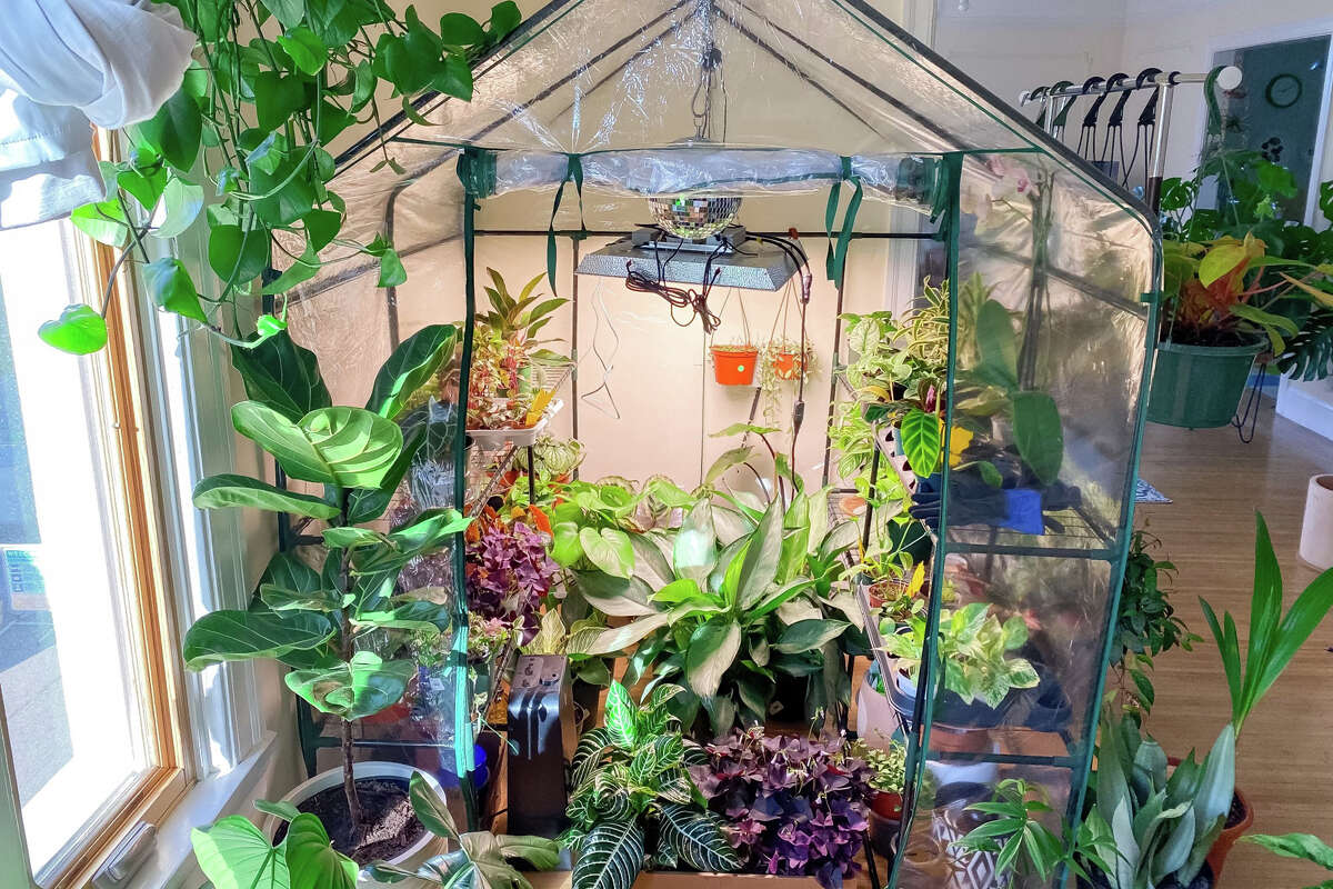 Jaime Beutel launched the Disco Greenhouse inside her Bay Area apartment in August 2020. She's even installed a 6 by 6 foot greenhouse within her bedroom.