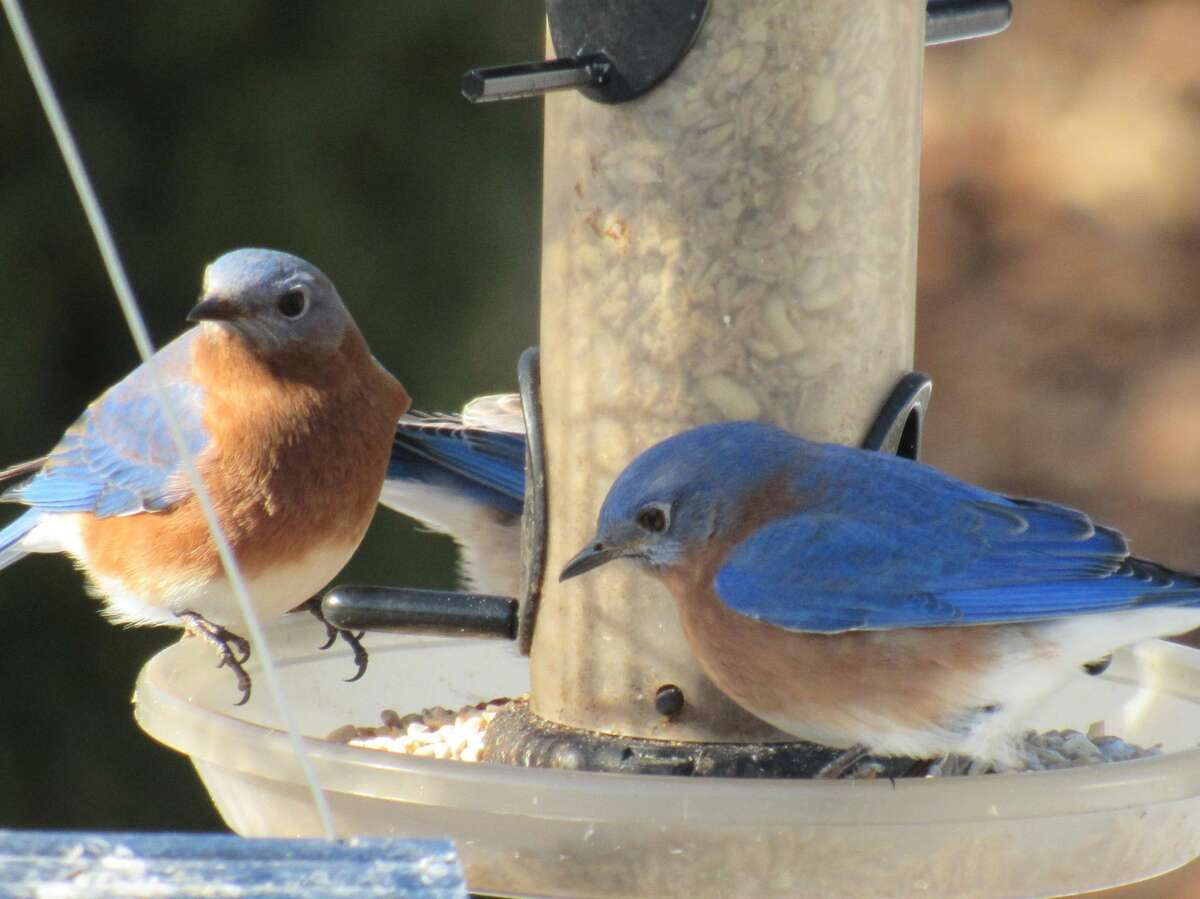 It was a cold sunny morning in Clifton Park and the bluebirds came to have breakfastMary StokesClifton Park