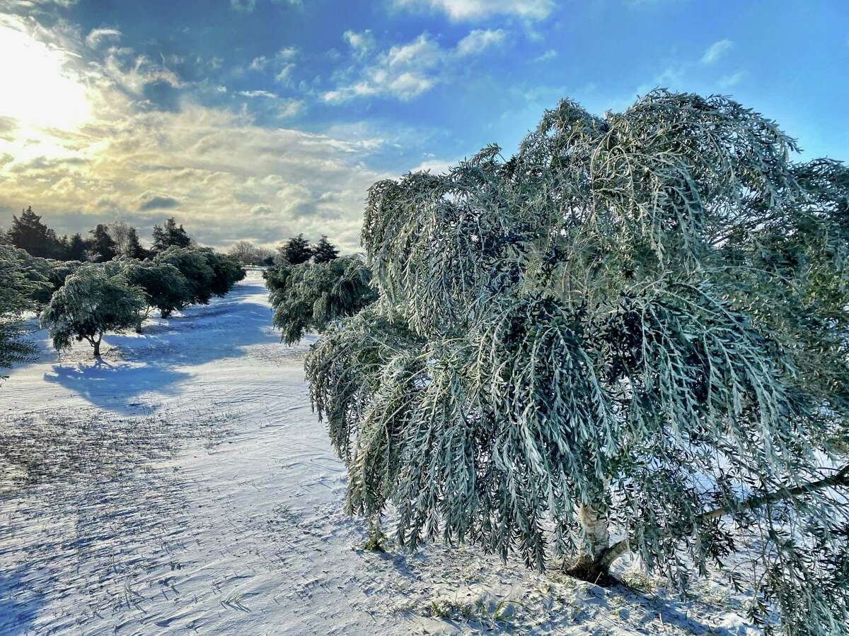 Olive trees at a Washington County home were covered in snow from this week's Texas deep freeze. Texas A&M ag extension agents urged people to wait a couple of weeks before assessing actual tree damage.