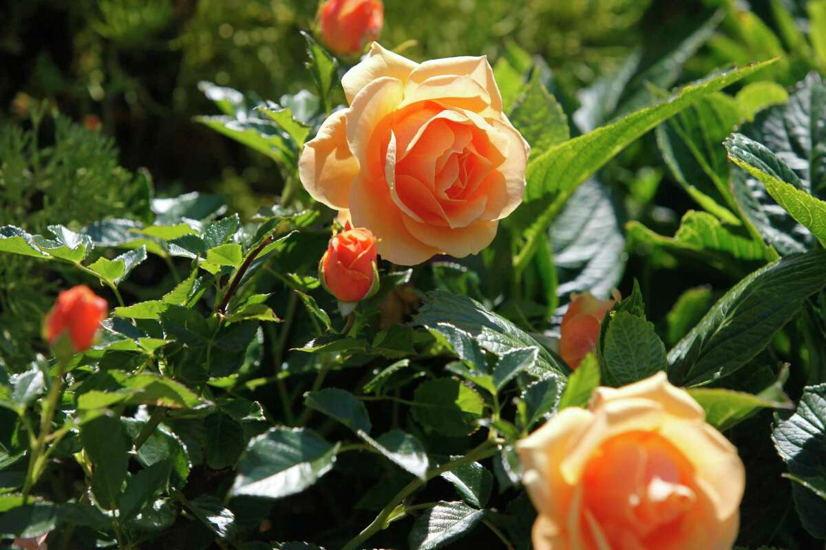 Roses are among the hardiest survivors.