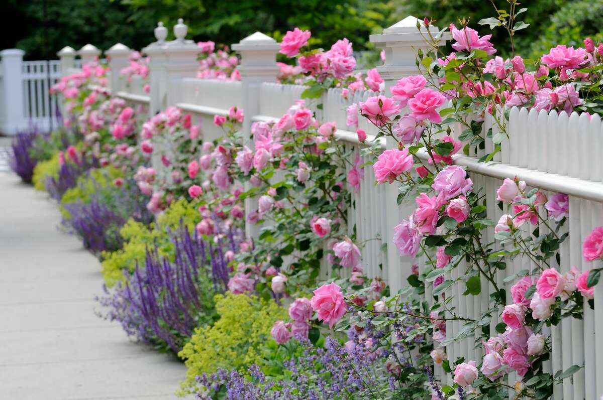 Roses come in all types and classes including hybrid teas, shrubs, miniatures, drift roses, antique and old garden roses.