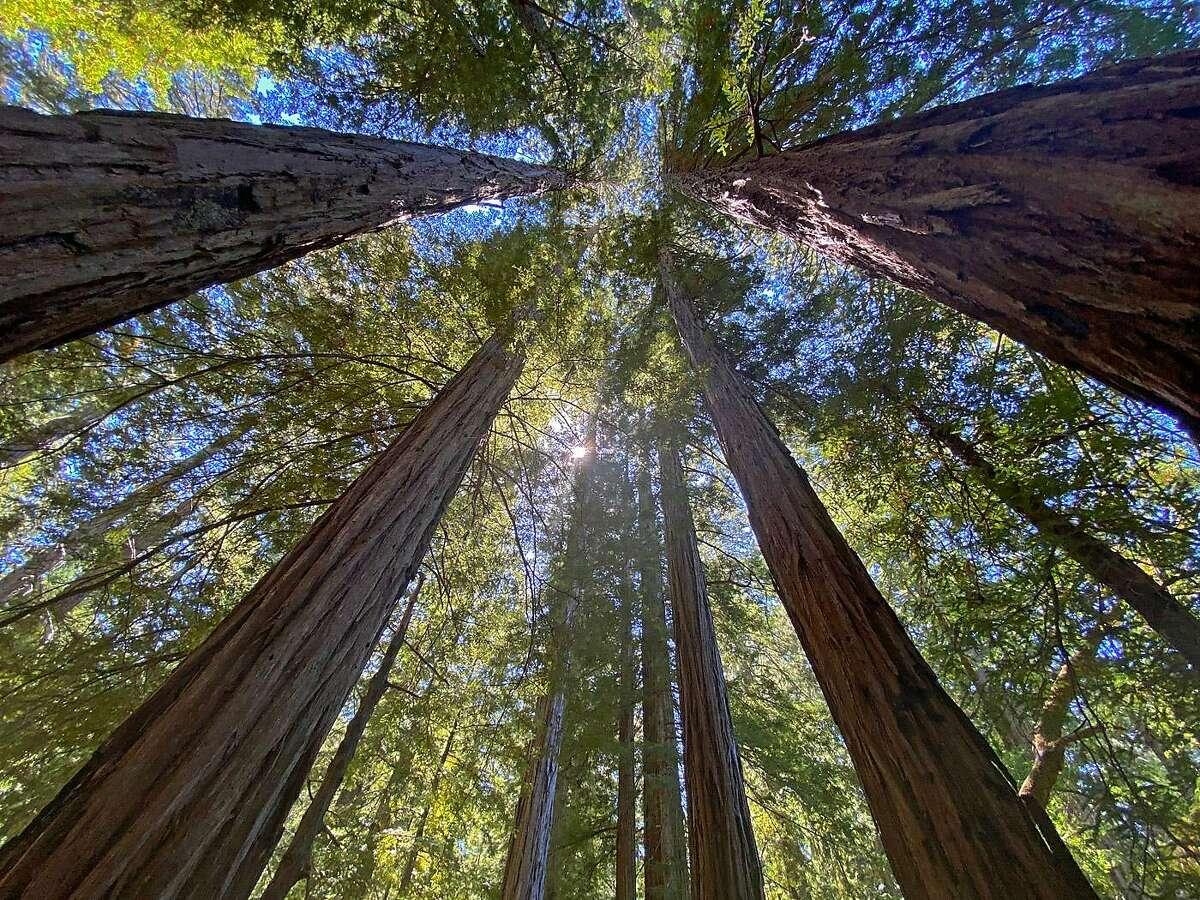 Old-growth coast redwoods.