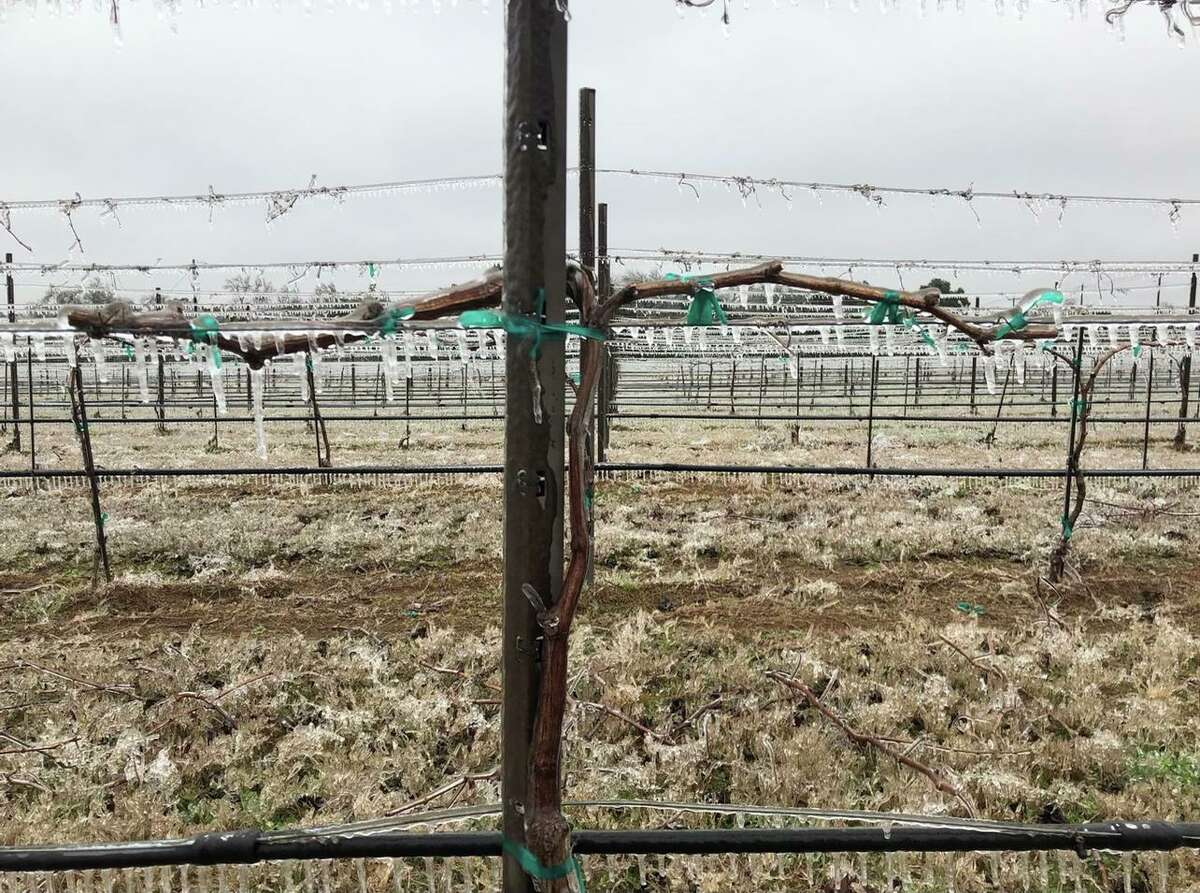 A vineyard at Spicewood in the Texas Hill Country during Winter Storm Uri