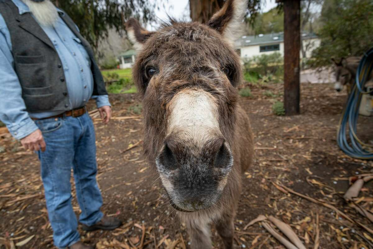 """Perry, one of two donkeys who live in Palo Alto's Bol Park, is very likely the most famous donkey in the world, thanks to a special connection to the Academy Award-winning film """"Shrek."""""""