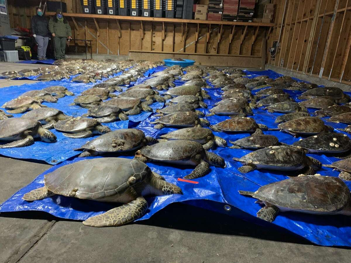 Padre Island NS Division of Sea Turtle Science & Recovery said more than 9,400 cold-stunned sea turtles have been recorded in Texas, with over 3,659 found in the Upper Laguna Madre.