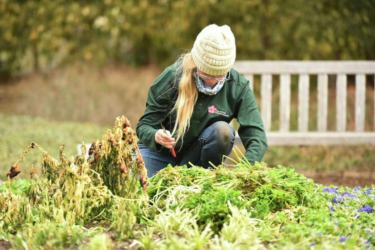Angel Chappell of the San Antonio Botanical Garden cuts back cold-damaged parsley following last week's winter storm.