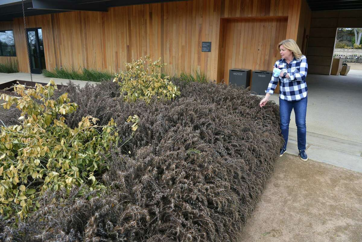 San Antonio Botanical Garden CEO Sabina Carr looks over the damage to the rosemary plants and Meyer lemon trees at the San Antonio Botanical Garden Sunday. Numerous plants were harmed by the recent freeze and snow.