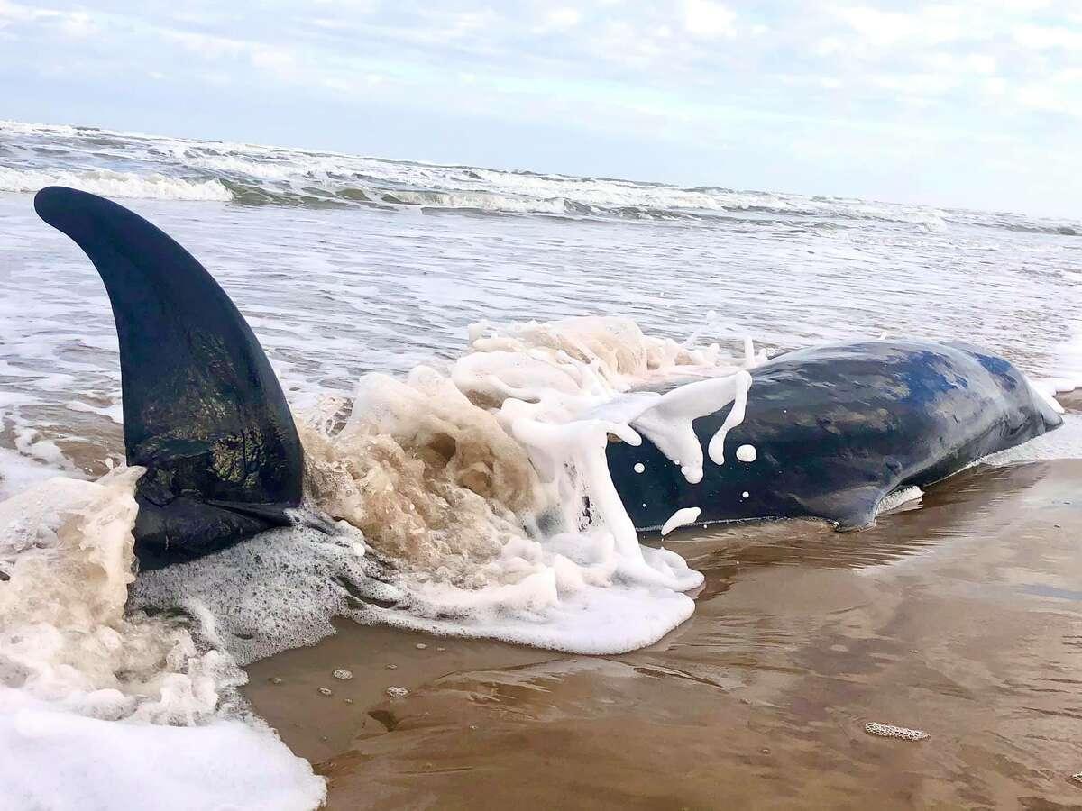 On Sunday, Raina Ashley LaCroixtook pictures of a Pygmy sperm whale that washed ashore along Padre Island National Seashore.