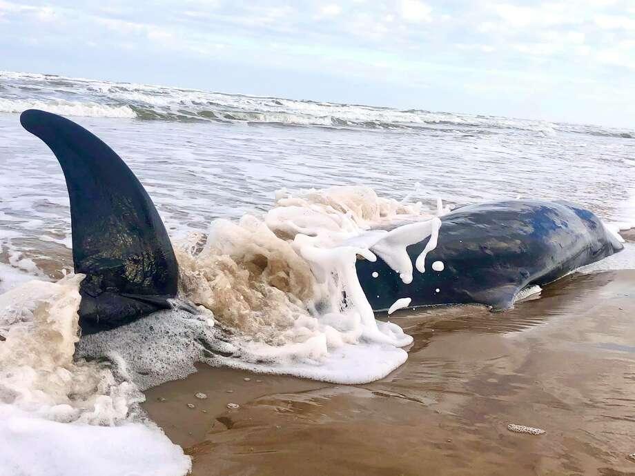 On Sunday, Raina Ashley LaCroixtook pictures of a Pygmy sperm whale that washed ashore along Padre Island National Seashore. Photo: Raina Ashley LaCroix