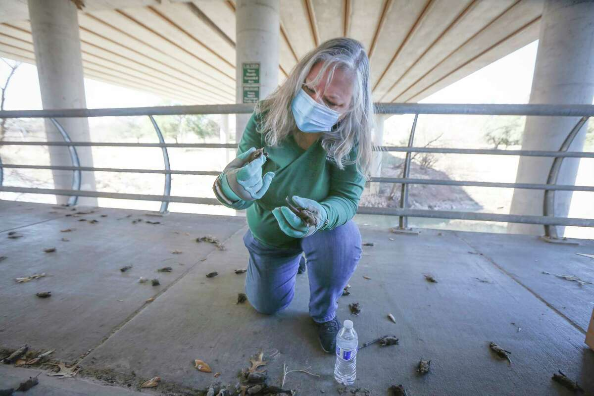 Diana Foss, Texas Parks and Wildlife Urban Wildlife Biologist attempts to find any surviving Mexican free-tailedbats in a pile of dead bats at Waugh Drive in Buffalo Bayou Park, where it was impacted by the winter storm Monday, Feb. 22, 2021, in Houston. Foss, said that the winter bat colony is about 100,000. During the summer the colony has about 300,000 bats. She said they were able to find about 20 bats that have fallen from the bridge that were still alive and they are attempting to save.