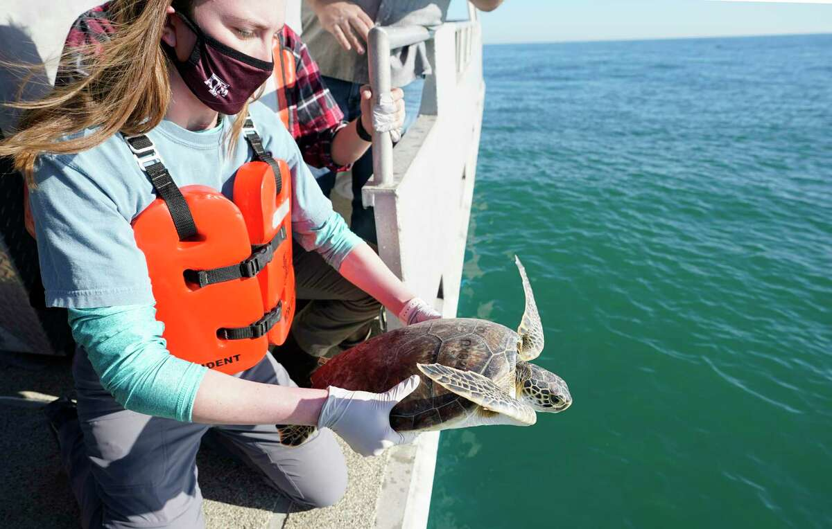 Rhiannon Nechero, a junior at Texas A&M University at Galveston, releases a green sea turtle into the Gulf from aboard the TAMUG's Research Vessel Trident Monday, Feb. 22, 2021 in Galveston. The Texas A&M Galveston's Gulf Center for Sea Turtle Research has been rehabilitating turtles that were stunned by the cold weather. Twenty-five will be released back into the gulf on Monday.