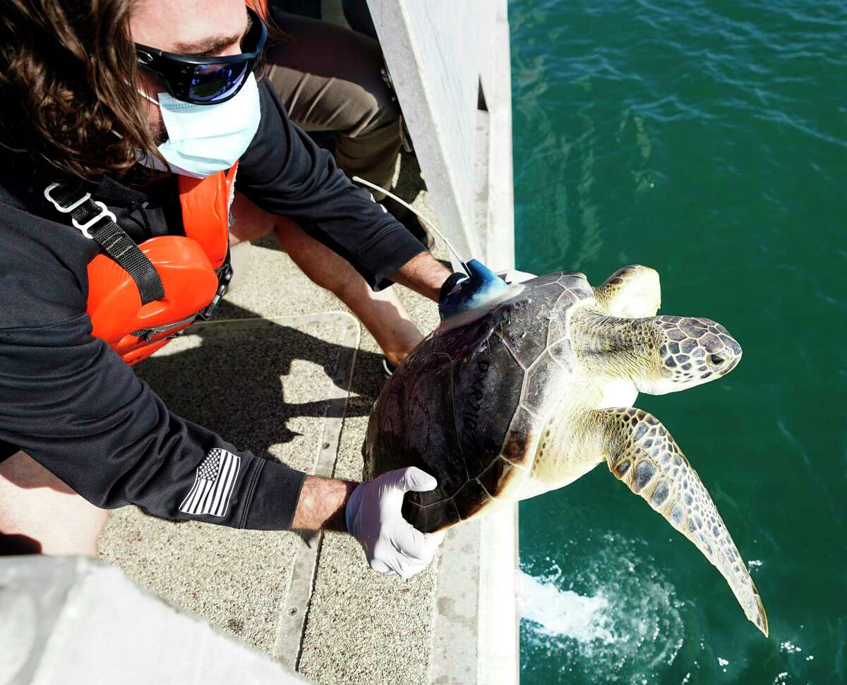 Rob Perkins, a research assistant at Texas A&M Galveston's Gulf Center for Sea Turtle Research, releases a green sea turtle into the Gulf from aboard the TAMUG's Research Vessel Trident Monday, Feb. 22, 2021 in Galveston. The center has been rehabilitating turtles that were stunned by the cold weather. Twenty-five will be released back into the gulf on Monday.