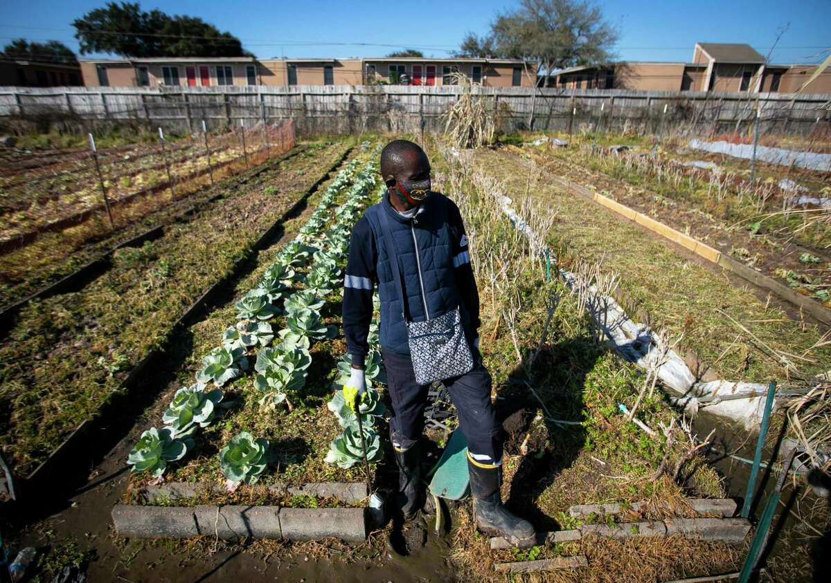 Plant It Forward farmer and chef Constant Ngouala assesses damage to his crops Saturday at PIF Braeswood Church location.