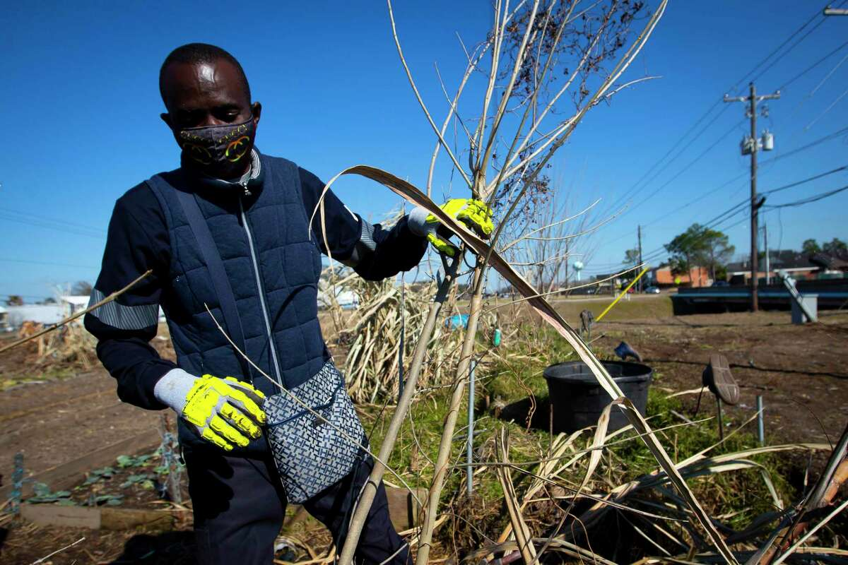 Plant It Forward farmer Constant Ngouala surveys both damaged and salvageable produce at the PIF Braeswood Church location on Saturday, Feb. 20, 2021.