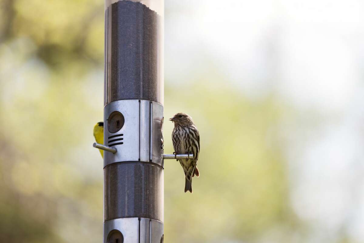 A Pine Siskin bird eating on a thistle bird feeder. American Goldfinch in the background.