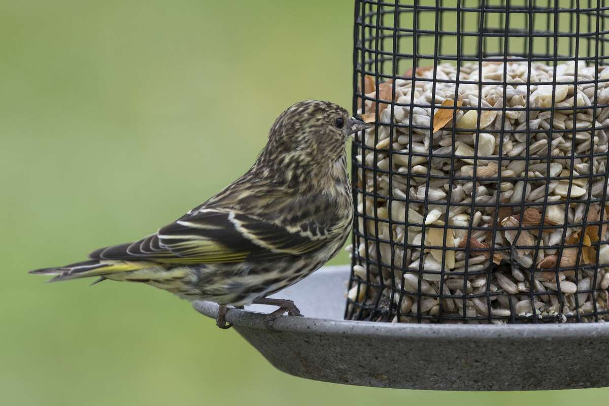 A male pine siskin (Carduelis pinus) looks over the selection of sunflower seeds and peanut pieces in a cage feeder.