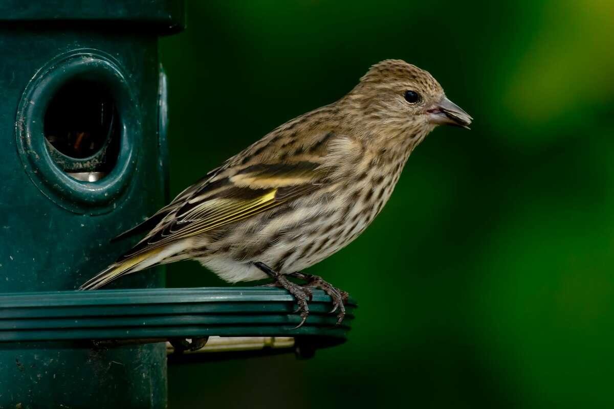 Pine Siskin perched on a bird feeder.