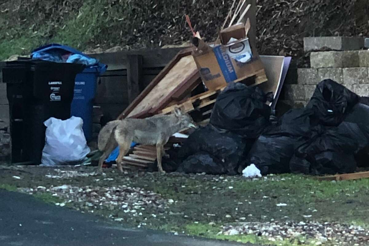 A Moraga resident photographed a coyote in a location that he said was a block from where a 3-year-old girl was bitten Feb. 16, 2021. The animal was more interested in the garbage placed outside a home than him, he said.