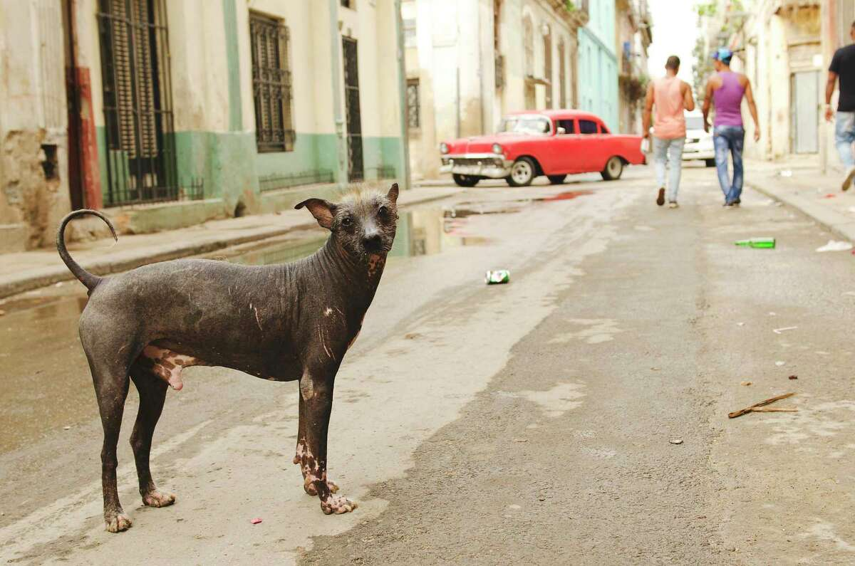 Stray Mexican hairless dogs are often mislabeled as chupacabras.