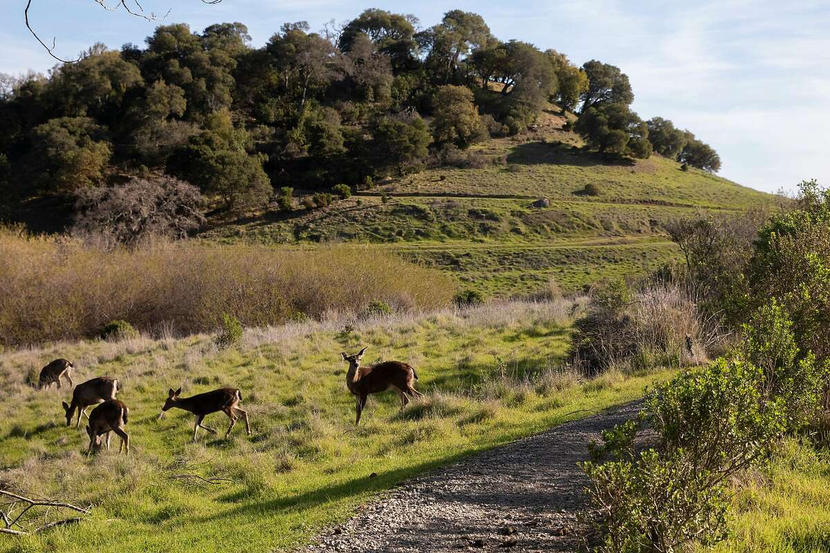 Deer graze off Shoreline Trail in recently reopened China Camp State Park in San Rafael.