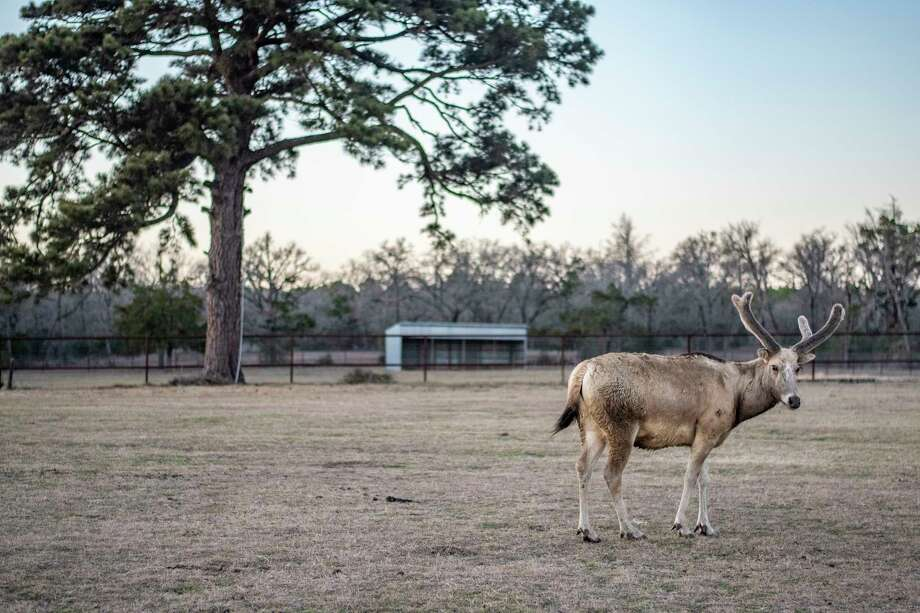The Texas Freeze's Silent Victims: Wildebeest, Gemsbok Antelope, and Other 'Exotic' Animals