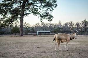 A Père David's deer on Valkyrie Ranch in Texas survived last week's freezing temperatures.