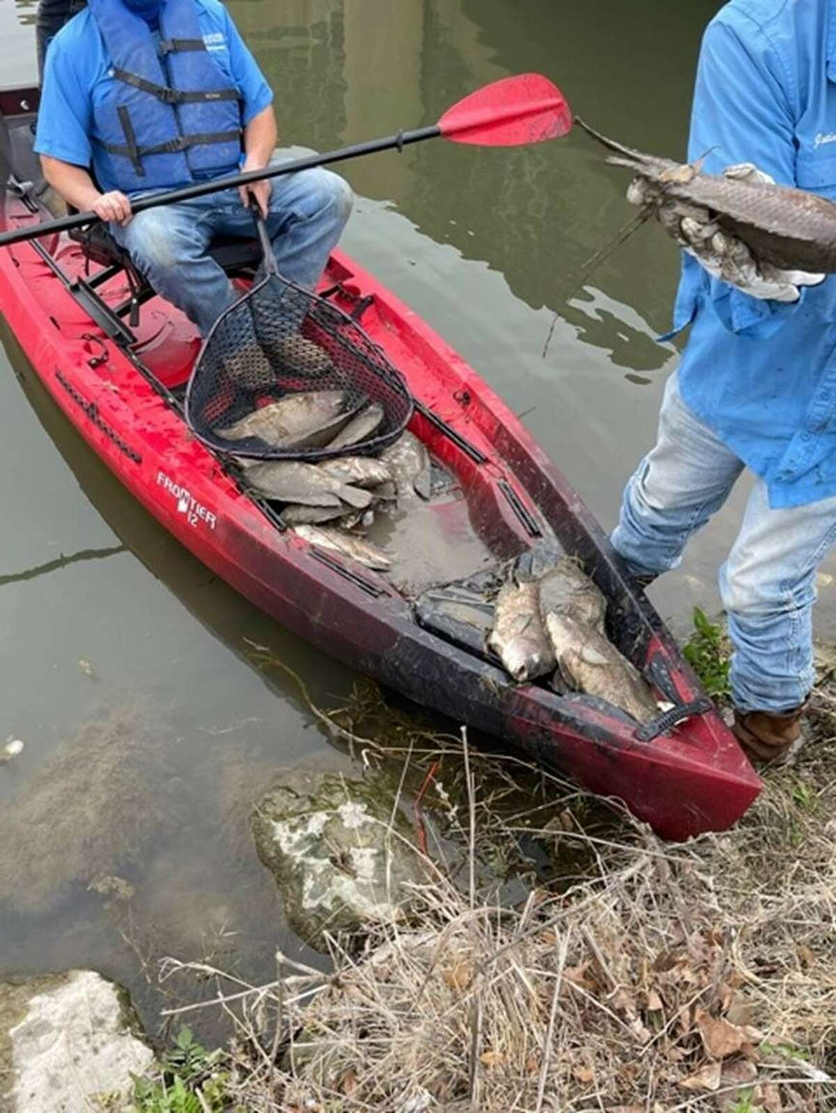 """The """"fish kills"""" are turning up not only along the entire Texas coast but also at the San Antonio River Walk."""