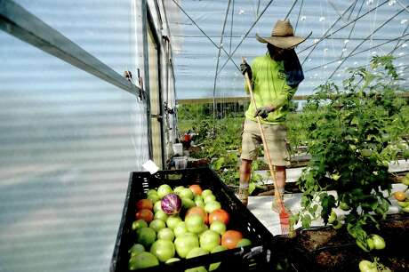 Zeph Mullinns works innside a greenhouse as customers arrive to pick up their produce on Thursday's drive-thru farmstand at Donna's Farm. The organic farm also gets produce and other farm fresh foods from fellow farmers in a co-op style collaboration to offer a variety of fresh and organically grown food. Since COVID-19 restrictions went into place, Donna's Farm shifted Thursday's on site farm market night to a drive-thru model, and have had over 60 vehicles on average each week. Photo taken Thursday, April 30, 2020 Kim Brent/The Enterprise