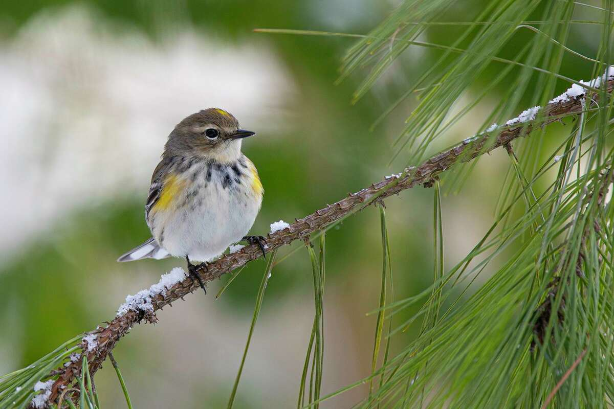 Feathers shield this yellow-rumped warbler from the cold.