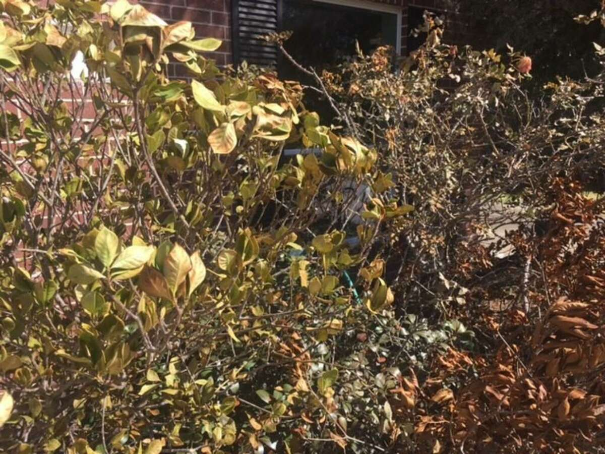 Gardenia bushes show freeze damage on leaves from the recent winter storm.