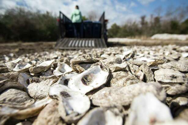Shannon Batte, habitat restoration technician for Galveston Bay Foundation, dumps oyster shells on The Galveston Bay Foundation oyster shell curing pile Wednesday, Feb. 3, 2021 in Pasadena. Texas Parks and Wildlife and two local nonprofits built a 40-acre oyster reef in Galveston Bay to support the declining oyster population, hard-hit by storms. Starting this week it is officially closed off so oysters can grow. After 22 months, they plan to open half of it for the oysters to be harvested. The goals is to try to show that there is a more sustainable model for oyster harvesting, with conservation built in.