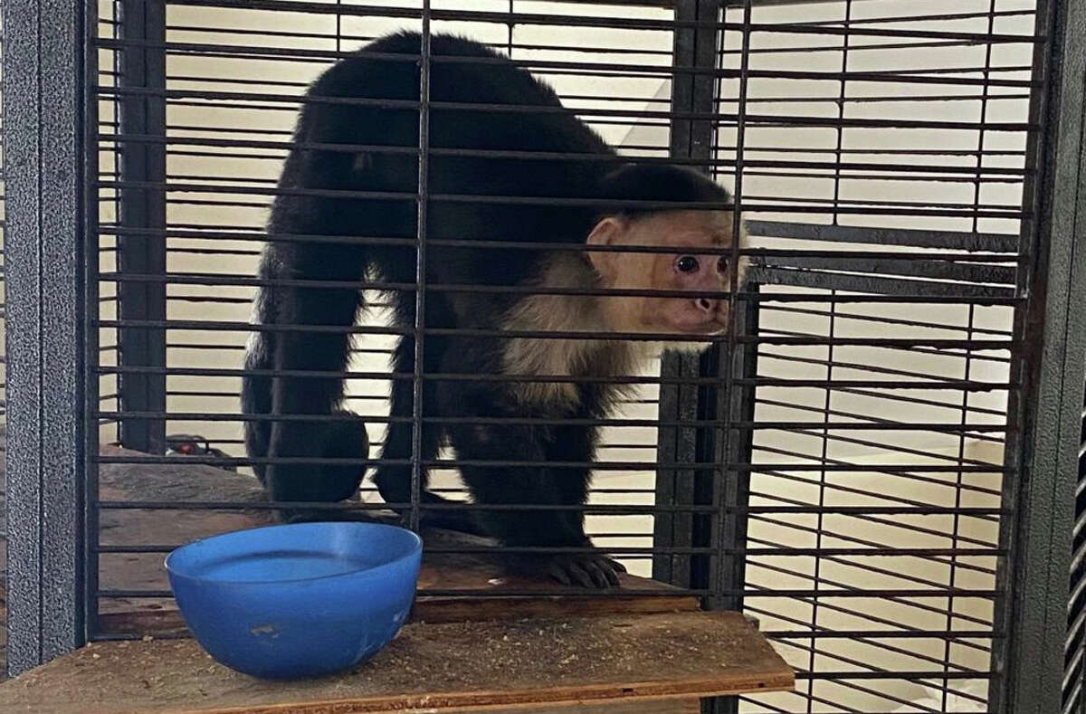A raid by state police of an Austerlitz, Columbia County home on Tuesday, Feb. 23, 2021 resulted in the seizure of this Capuchin monkey, which authorities said its owner possessed illegally.