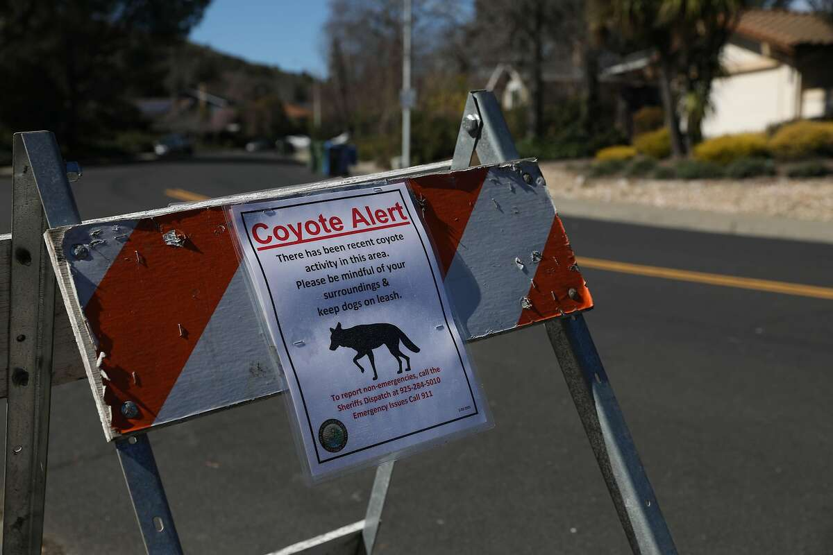 Authorities in Contra Costa County have captured and killed the coyote responsible for attacking and injuring five people in the Moraga area since last summer.