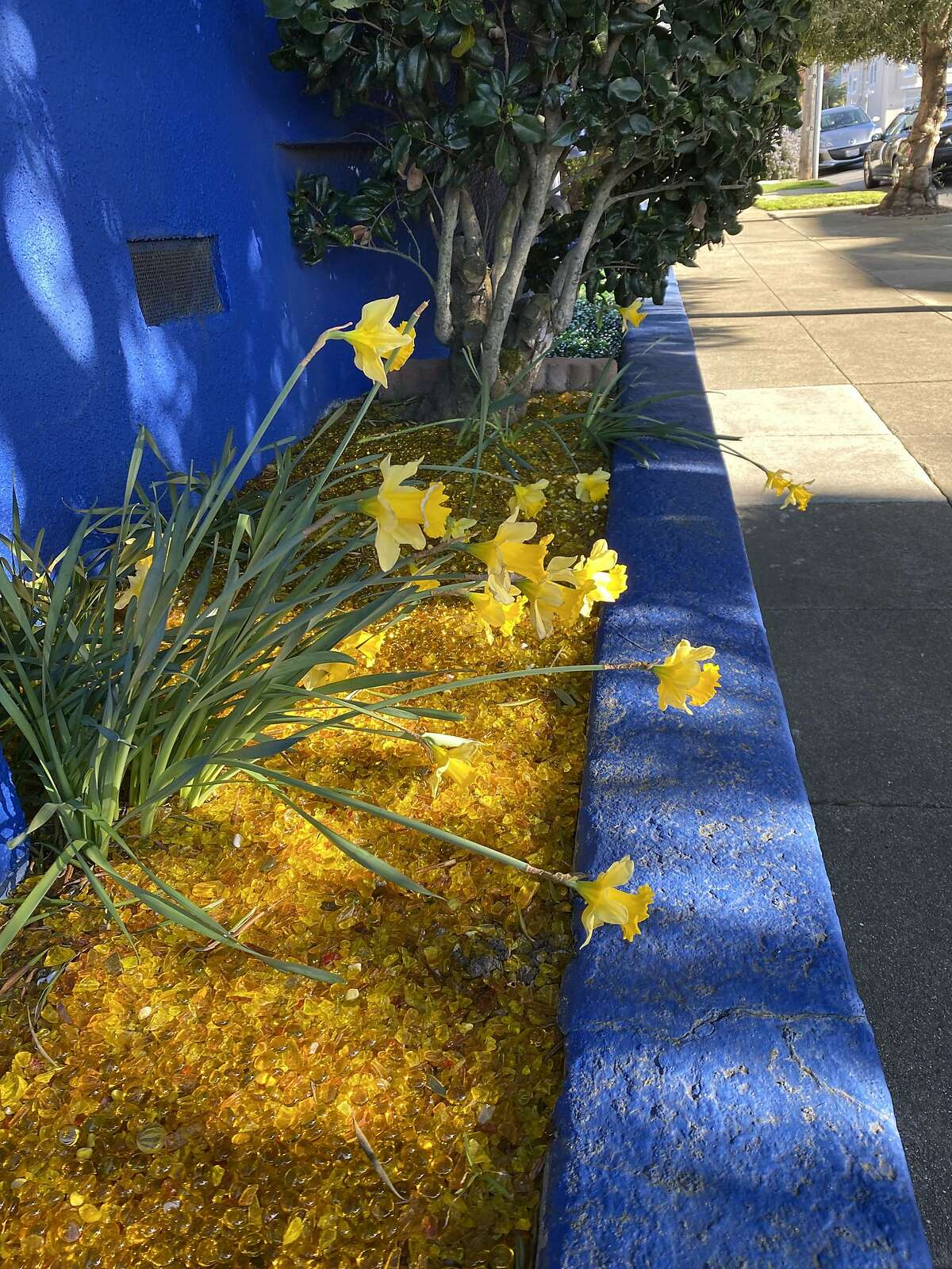 Mystery daffodils growing outside the Bedlam Blue Bungalow as spring starts to bloom in late February 2021.