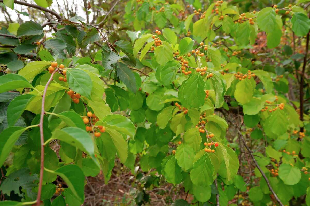 Pictured is Oriental bittersweet leaves and berries. If left untreated, Oriental bittersweet can quickly cover the surrounding vegetation. (Photo courtesy of North Country Cooperative Invasive Species Management Area)