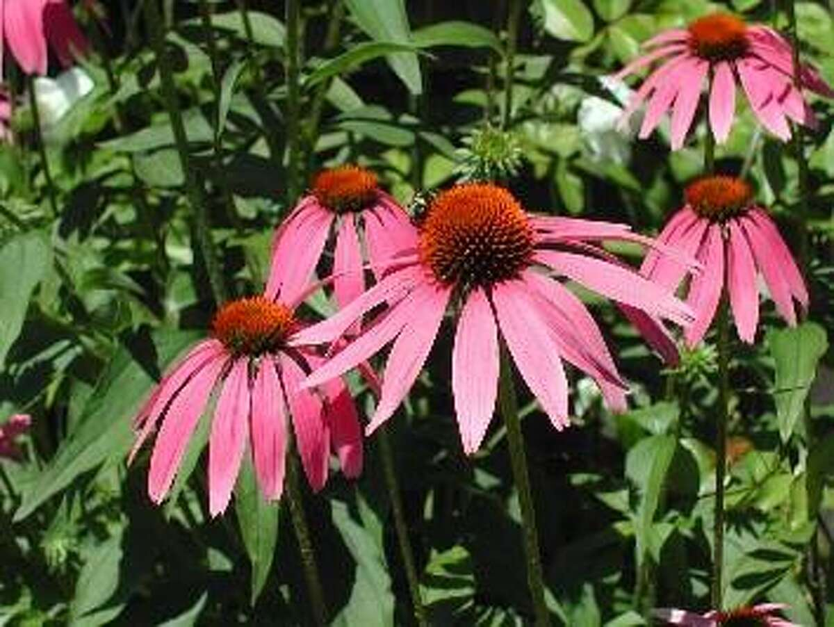 An echinacea plan found in the Montgomery County Master Gardener's dye garden on Airport Road.