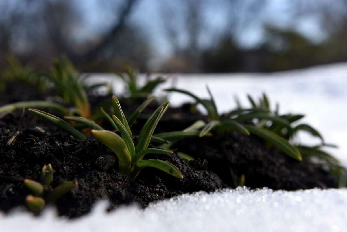 Perennial rise from the snow-covered tulip beds at Washington Park on Friday, Feb. 26, 2021, in Albany, N.Y. (Will Waldron/Times Union)