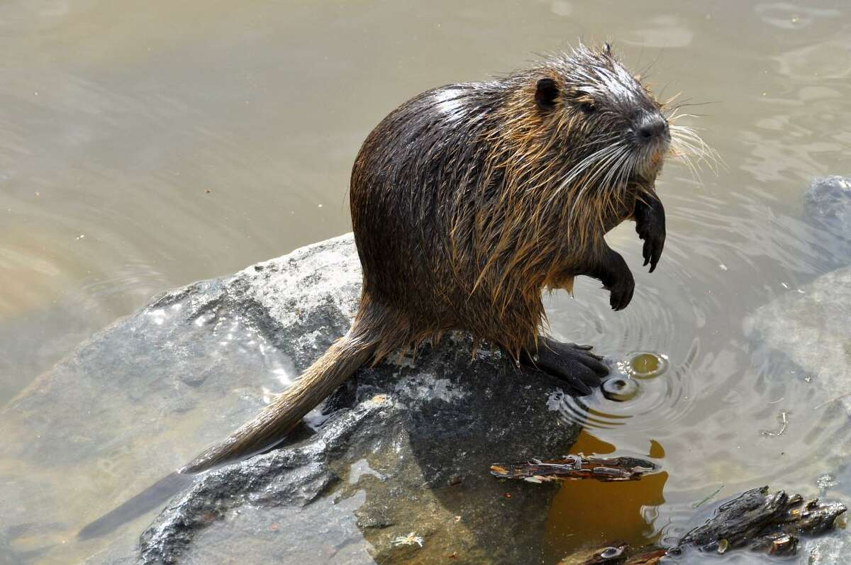 Nutria is an invasive species which causes wide-spread damage across the United States.