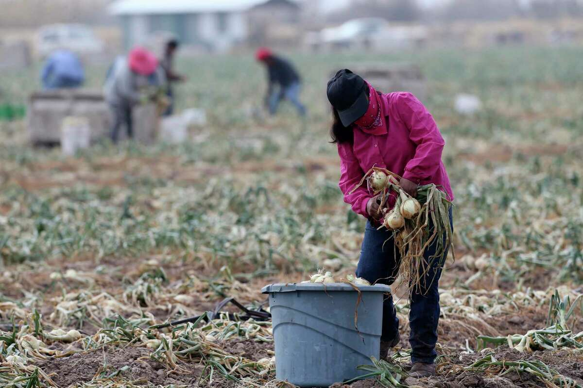 One hundred acres of cabbage and onions withered: Uvalde farmer J Allen Carnes told CNN about 100 acres of cabbage and onions were lost in the freezing temperatures. Carnes said he expects to find more crops that didn't survive, leaving employees without a job.
