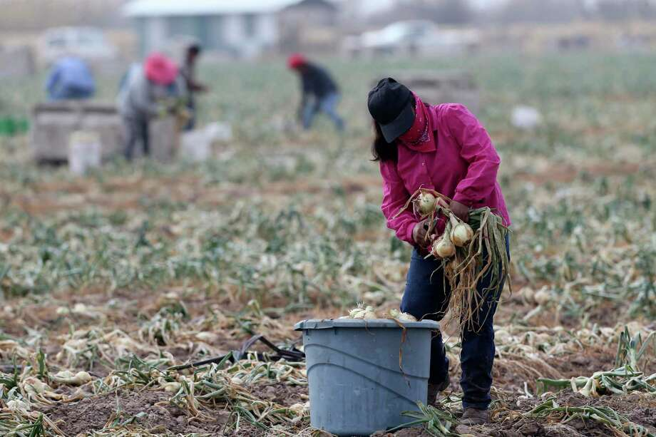 Field workers harvest onions at a field near Hargill, Texas. Crops throughout the Rio Grande Valley sustained widespread damage due to the recent low temperatures. Farmers were still assessing the damage. Photo: Jerry Lara, Staff / San Antonio Express-News / **MANDATORY CREDIT FOR PHOTOG AND SAN ANTONIO EXPRESS-NEWS/NO SALES/MAGS OUT/TV   © 2019 San Antonio Express-News